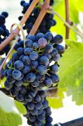 Fruit Tree Art Photos - Vineyard Grapes by Charmian Vistaunet
