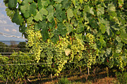 Traverse Bay Photos - Vineyard Grapes in Traverse City Michigan by Diane Lent