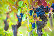 Wine Industry Framed Prints - Vineyard Grapes Ready for Harvest Framed Print by Susan  Schmitz