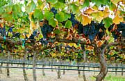 Canvas Wine Prints Posters - Vineyard - Harvest time Poster by Haleh Mahbod