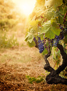 Grapevines Posters - Vineyard in autumn harvest Poster by Mythja  Photography