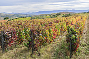 Winemaking Framed Prints - Vineyard in its autumn colors Framed Print by Oscar Gutierrez