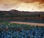 Wine Making Photo Prints - Vineyard in Krushevac. Serbia Print by Juan Carlos Ferro Duque