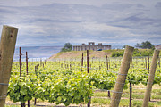 Pinot Noir Photos - Vineyard in Maryhill Washington State by JPLDesigns