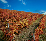 Wine Making Photo Prints - Vineyard in Negotin. Serbia Print by Juan Carlos Ferro Duque