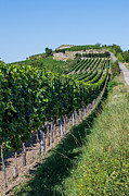 Grapevine Autumn Leaf Prints - Vineyard in Rhineland Palatinate Print by Palatia Photo