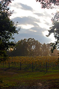 Carolyn Stagger Cokley - vineyard in the afternoon