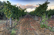 Wine Vineyard Photos - Vineyard in Tuscany by Al Hurley