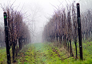 Vineyard Metal Prints - Vineyard in Winter Metal Print by Rebecca Cozart