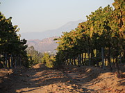 Wine Vineyard Photo Originals - Vineyard by Jan Massie