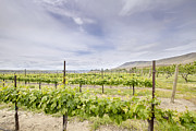 Pinot Noir Photos - Vineyard Landscape in Maryhill Washington State by JPLDesigns