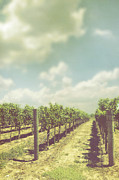 Napa Valley Vineyard Prints - Vineyard Print by Margie Hurwich
