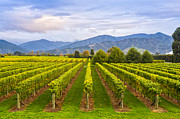 Vineyard Prints - Vineyard Marlborough New Zealand Print by Colin and Linda McKie
