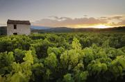 Featured Prints - Vineyard Near Malemort-du-comtat Print by Andy Kerry