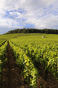 Grape Vine Photos - Vineyard near Monthelie. Burgundy. France. Europe by Bernard Jaubert