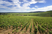 Vinyard Framed Prints - Vineyard of Cotes de Beaune. Cote dOr. Burgundy. France. Europe Framed Print by Bernard Jaubert