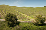 Kent Sorensen - Vineyard Road in Sonoma...