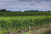 Vineyard Rows Print by Steve Gravano