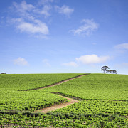 Rural Landscape Photo Prints - Vineyard South Australia Print by Colin and Linda McKie