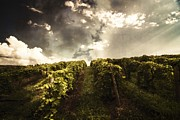 Blue Grapes Photos - Vineyard Wanderlust by Stuart Gallagher