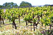 California Vineyard Photo Prints - Vineyard with young plants Print by Susan  Schmitz