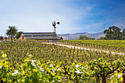 Viticulture Photos - Vineyard with young vines by Susan  Schmitz