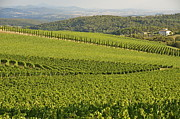 Chianti Vines Prints - Vineyards and cypresses in San Gusme Print by Sami Sarkis