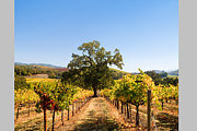 Sonoma County Vineyards. Prints - Vineyards and Lone Tree Print by Kathy Sidjakov