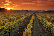 Grape Vineyards Prints - Vineyards and sunset in Napa County Print by Gary Crabbe