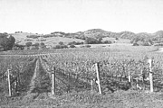 California Vineyard Prints - Vineyards Print by Frank Wilson