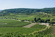 Grapevine Autumn Leaf Prints - Vineyards in Rhineland Palatinate Print by Palatia Photo