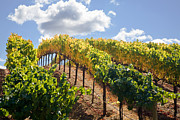 Sonoma County Vineyards. Prints - Vineyards in the Clouds Print by Kathy Sidjakov