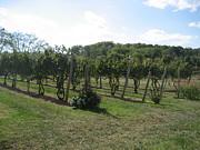 Vineyards In Va - 121251 Print by DC Photographer