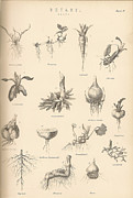 Drawn Prints - Vintage Botany Print by Nomad Art And  Design