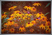 Midsummer Prints - Vintage Brown Eyed Susan Print by Kay Novy
