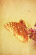 Flutter Art - Vintage Butterfly by Darren Fisher
