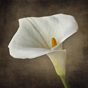 Close Up Artwork Posters - Vintage Calla palustris Poster by Erik Brede