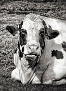 Vintage Looking Prints - Vintage Cow Print by Wim Lanclus