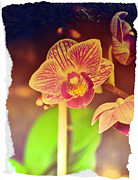 Heather Beck - Vintage Orchid