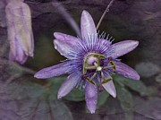 Passion Flower Photos - Vintage Passion Flower by Richard Cummings