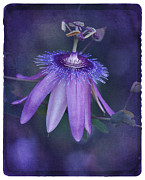 Passion Flower Photos - Vintage Passion by Richard Cummings