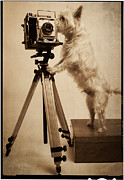 Westies Prints - Vintage Pho Dog Grapher Westie Print by Edward Fielding