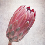 Red Wallpaper Posters - Vintage protea Poster by Jane Rix