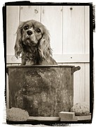 King Charles Spaniel Prints - Vintage Puppy Bath Print by Edward Fielding