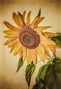 Circle Posters - Vintage Sunflower Poster by Edward Fielding