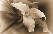 Light Taupe Prints - Vintage Trillium Flower Print by Jennie Marie Schell