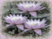 Trio Framed Prints - Vintage Water Lily Trio Framed Print by Karen Lewis