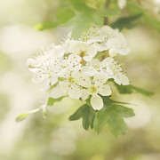 HJBH Photography - Vintage white blossom