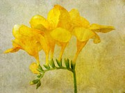 Astrid Ewing - Vintage Yellow Freesia