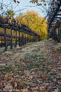 Daniel Ryan - Vinyard in the Fall